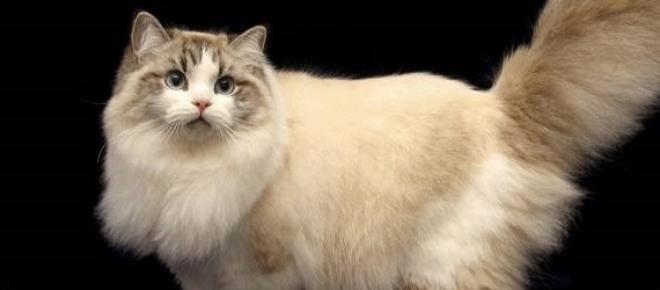 Bengáli cica (google.com)