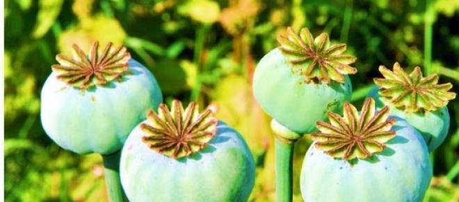 Papoulas planta responsável pela morfina