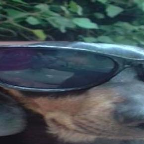 Csöpi,  aki napszemüvegen keresztül figyel