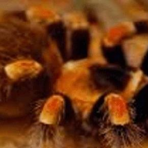 Hálószövés előtt a narancsos pókocska.