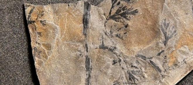 rocă conţinând plantă fosilizată