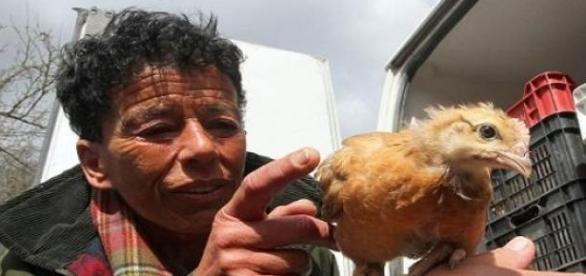 Hegedűs Zsuzsa csirkét oszt