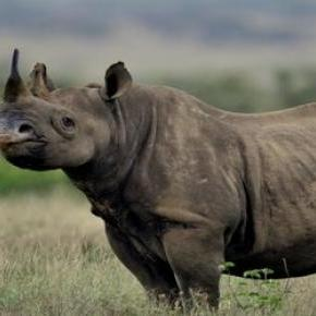 A Pembient mentheti meg a rinocéroszokat