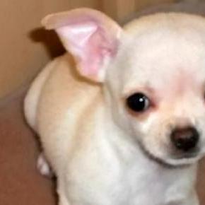 Bella, a pórul járt chihuahua