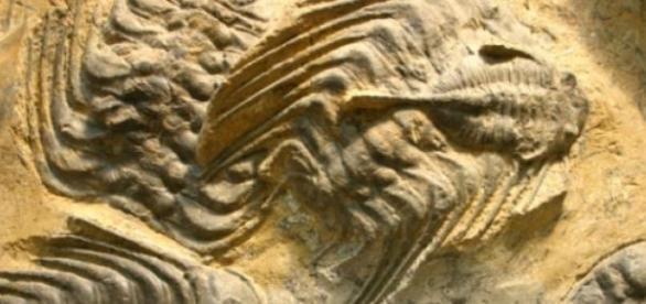 Es raro hallar esta clase de fósiles del Cámbrico