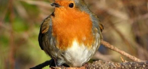 Britain's ever popular robin features on the feed
