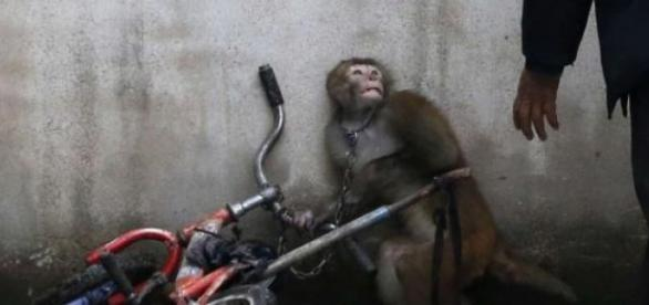 """""""Tresura cyrkowej małpy"""" fot. Yongzhi Chu (Chiny)"""