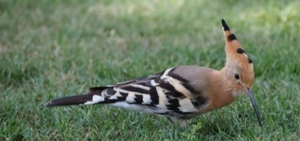 Búbos banka, az év madara. (képforrása: pixabay)