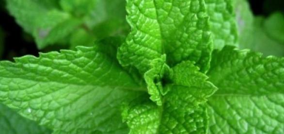 Le migliori piante aromatiche da usare contro le zanzare for Soluzioni zanzare giardino
