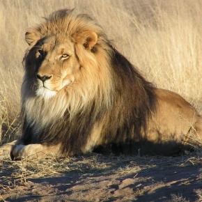Ein Löwe mit langer und dunkler Mähne ist gesund.