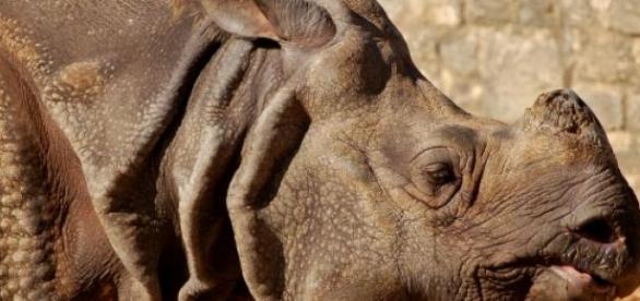 Рог носорога - ингредиент в народной медицине