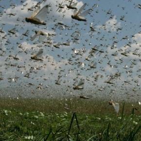 Valuri de lăcuste atacând culturile de cereale