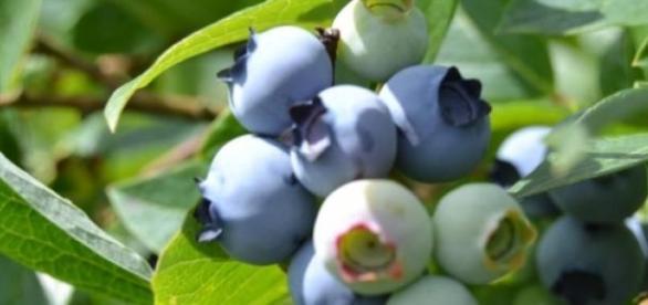 Die Heidelbeersaison dauert von Juli bis September