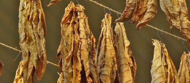 Hojas de tabaco en proceso de secado