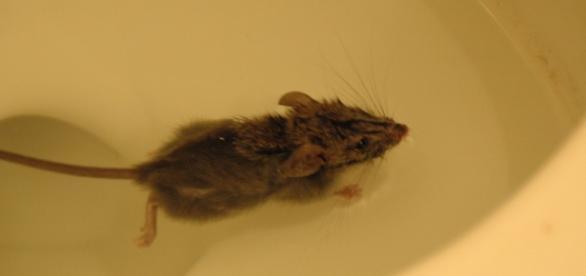Como um rato pode sair de dentro da sua sanita