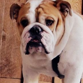 Czy psy potrafią odczuwać skruchę?