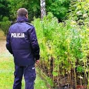 Legalizacja marihuany w Polsce?