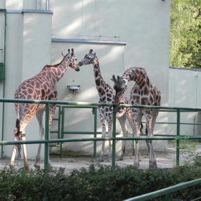 Żyrafy z łódzkiego ZOO. Fot. K.Krzak