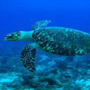 A hawksbill turtle displays biofluorescence.
