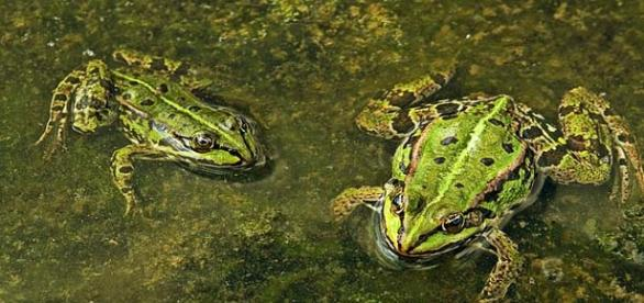 Female to male ratio of frogs uneven in suburbia.