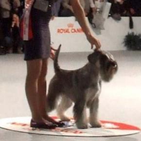 2016 International dog show Amor di Schnauzer YOYO