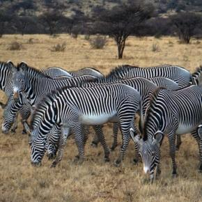 Grevy's Zebra herd. Wikipedia commons