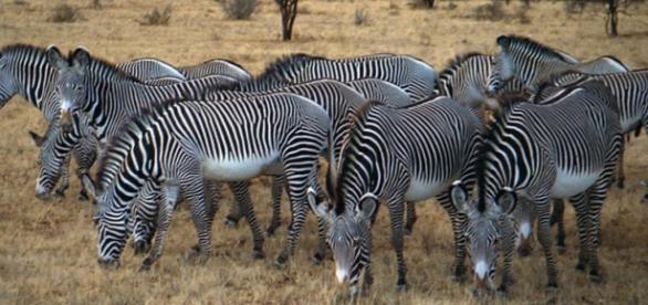 Grevy's Zebra herd. Wikipedia commons