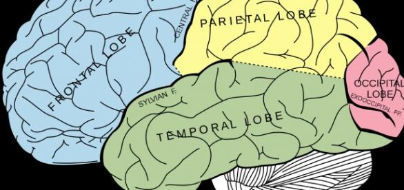 Diagram of the brain (Wikipedia)
