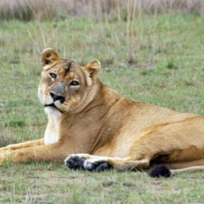 Lion in Luiwa National Park. Wikimedia