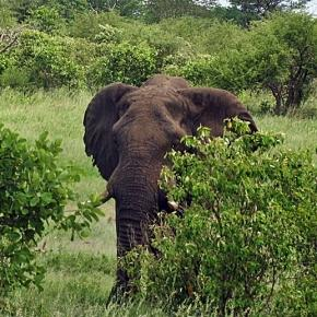 Elephant in Zimbabwe. Image by J. Flowers