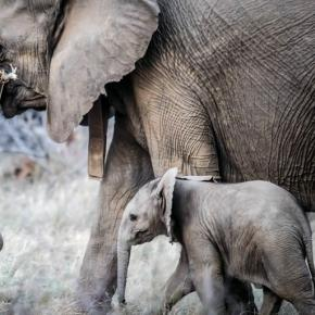 Orphaned baby elephants are vulnerable. (Pixabay)