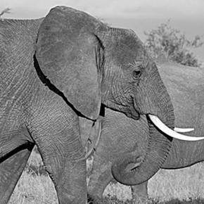 African elephants. Pixabay commons