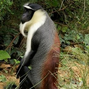 Roloway Monkey via Wikimedia commons