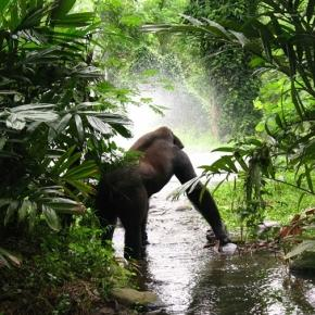 Rain forest gorillas. Image courtesy Pixabay