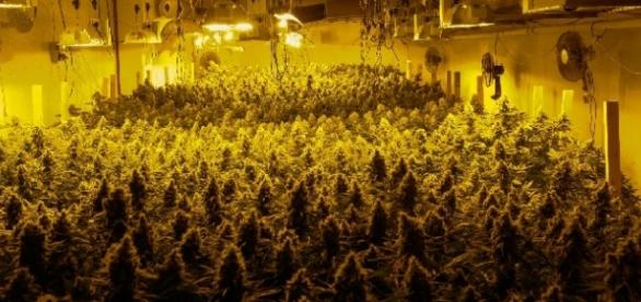 Symbolbild: Cannabis-Plantage in Zürich