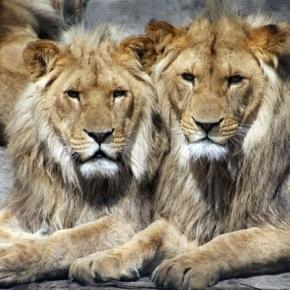 African lions / Photo by Aboeka, CCO Public Domain, via Pixabay.com
