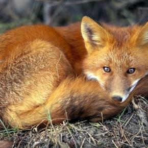 Red Fox - nationalgeographic.com