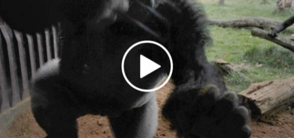 Wściekły goryl wydostał się na wolność.