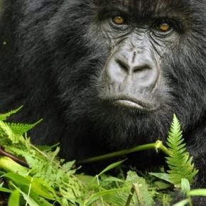 Gorilla | Species | WWF - worldwildlife.org