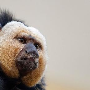 New World Monkeys - Facts, Information & Habitat ...- animalcorner.co.uk