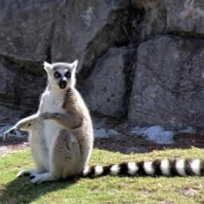 Lémurien, Des Animaux, Lémuriens - pixabay.com