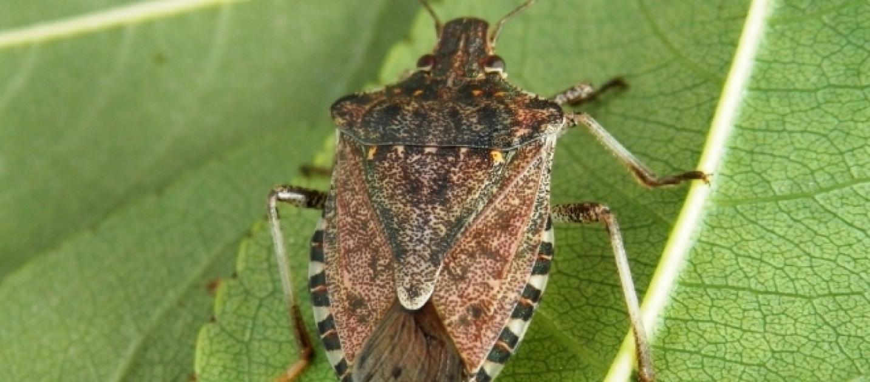Cimici cinesi allarme di coldiretti ecco come eliminarle for Cimice insetto