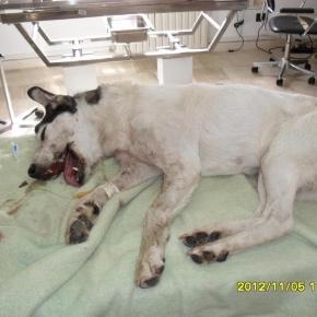 Un cane vittima di violenze nel lettino di un veterinario. - Foto di repertorio
