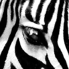Zebra in iSimangaliso / Photo own work - Jane Flowers