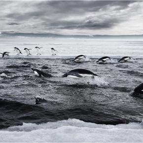 Pinguini Adelie în Marea Ross, Antarctica