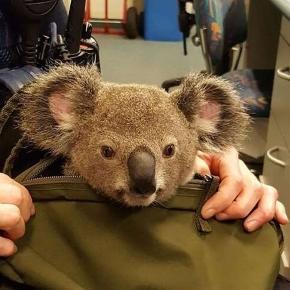 Filhote de coala é resgatado pela polícia de Brisbane, Austrália