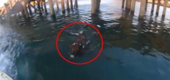Na Austrália, vaca fujona protagonizou uma perseguição que durou 24 horas (Crédito: YouTube/Vovidi)