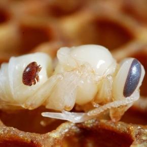 La santé de l'abeille mobilise les responsables apicoles, à l'image de Francis Gruzelle, Président de l'Abeille Ardéchoise et Drômoise