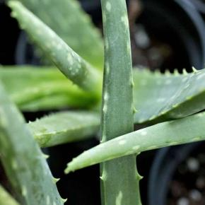 No evidence of aloe vera found in the aloe vera at Wal-Mart ... - mrt.com