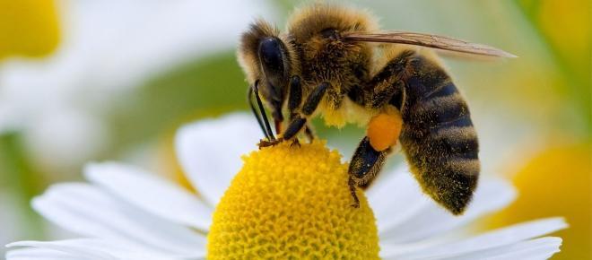 Abelhas estão desaparecendo do planeta